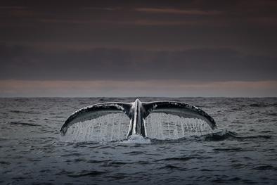 humpback_whale_fluke_tail_ireland_art