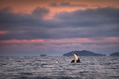 spy hopping Orcas, killer whale at arctic Norway