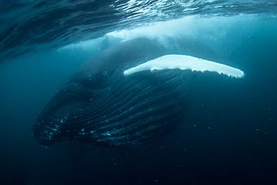 feeding humpback whale underwater herring norway