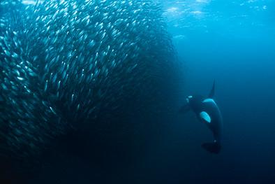 giant baitball herring orca killer whale