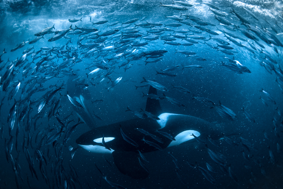 orca catching fish