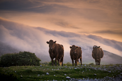 burren classic view photo cows fog mist
