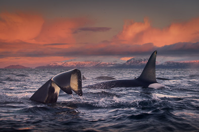 rounded tail killer whale slap tail orca