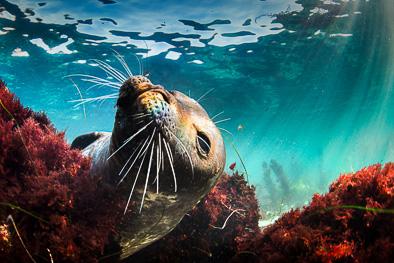 cute_harbour_seal_underwater_photo_seaweed