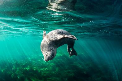 seal_la_jolla_california_underwater_photo