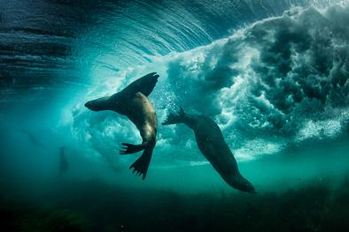 surfing_sealions_underwater_california