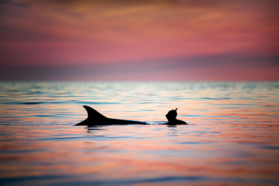 wild dolphin play with girl human sunset ireland silhouette