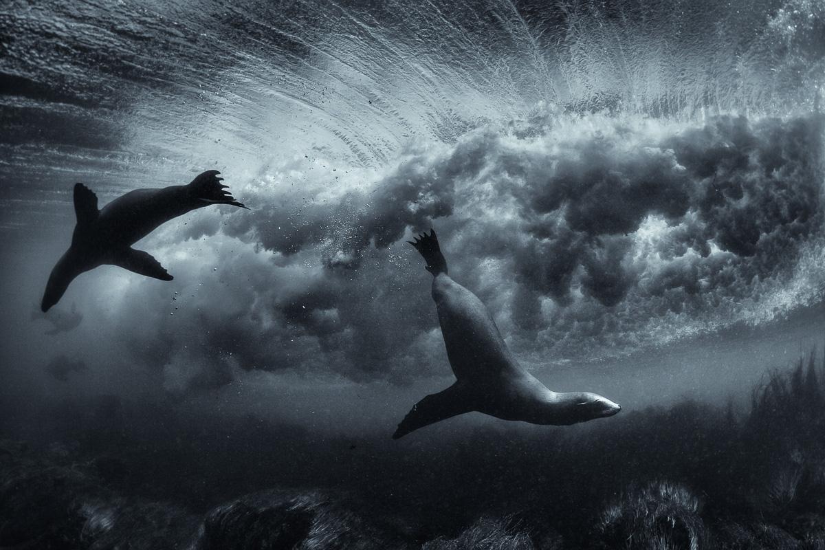 surfing sea lions underwater art photos