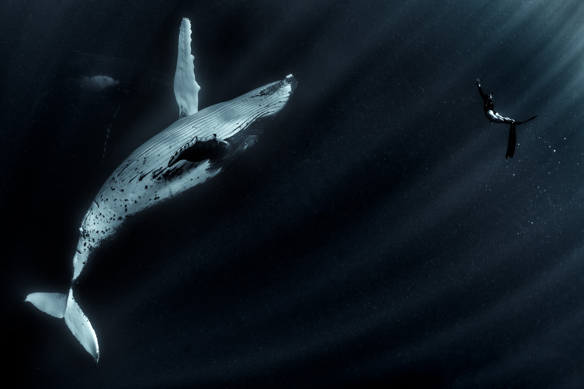 humpback whale and girl freediver underwater ineraction