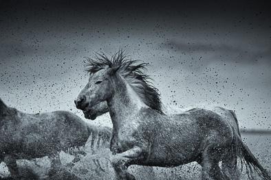 wild muddy horses with hair