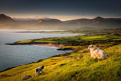 sheep in Dingle