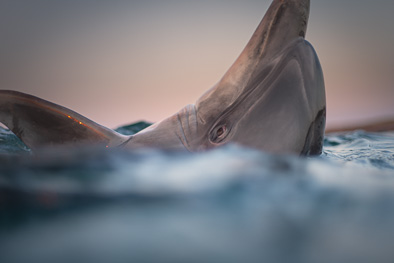 spy hopping dolphin at sunset