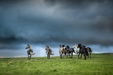Wild free horses