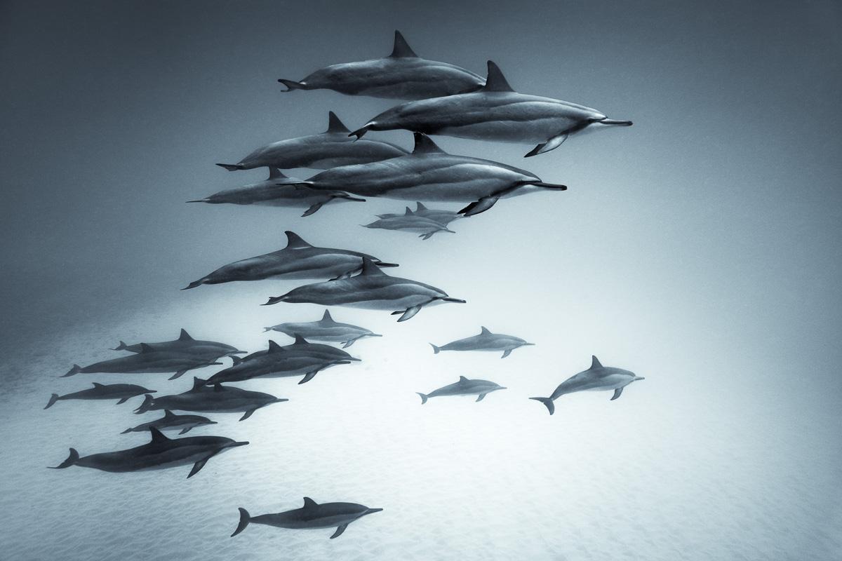 Hawaiian spinner dolphins pod_art