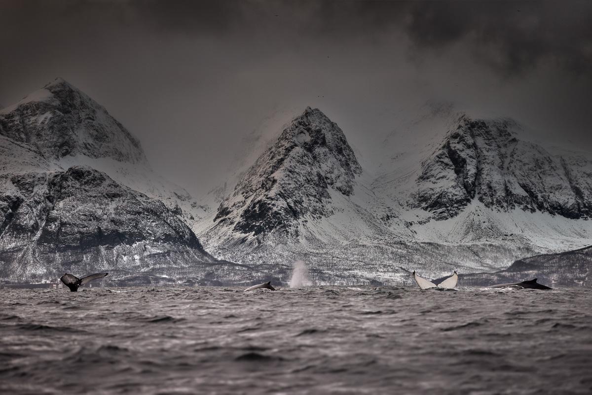Humpback_whale_skjervoy