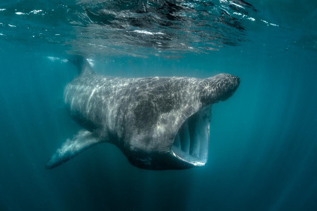 basking_shark_feed_in_ireland_south_west_cork