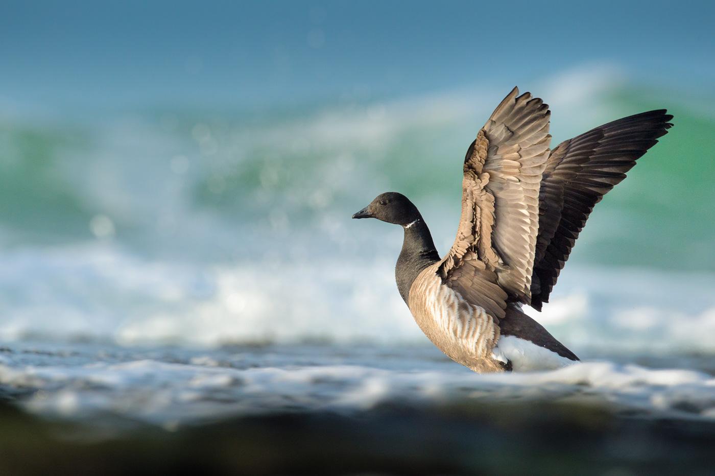 brent-geese_ireland