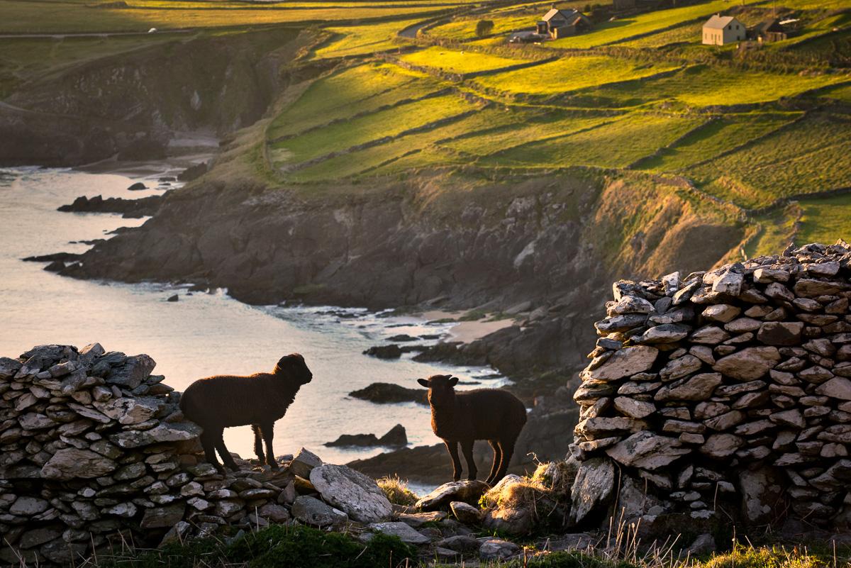 classic_sheep_ireland_irish_photo