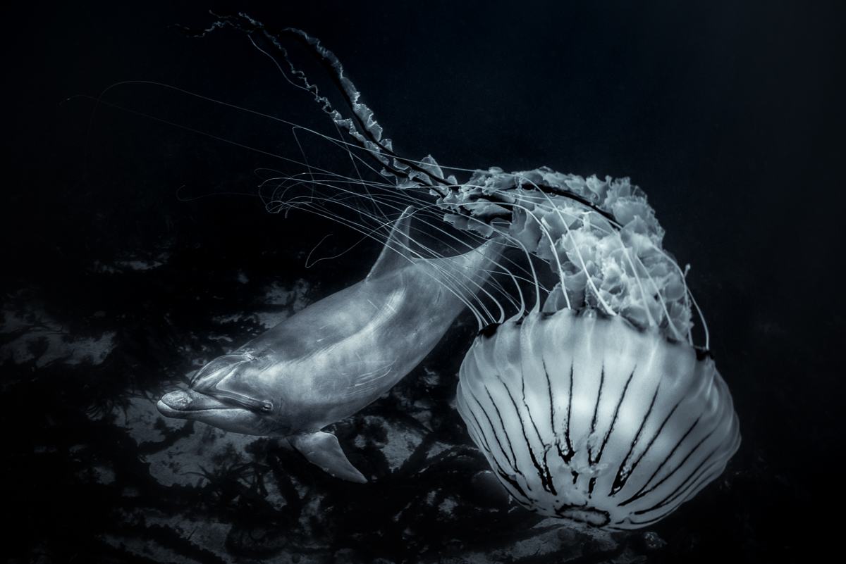 compass_jellyfish_and_dolphin