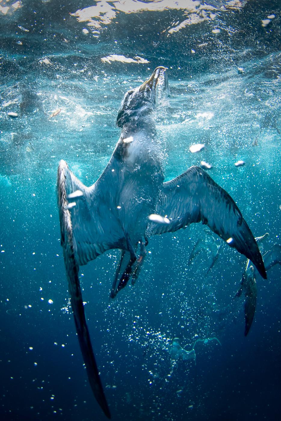 corys_shearwater_underwater_azores