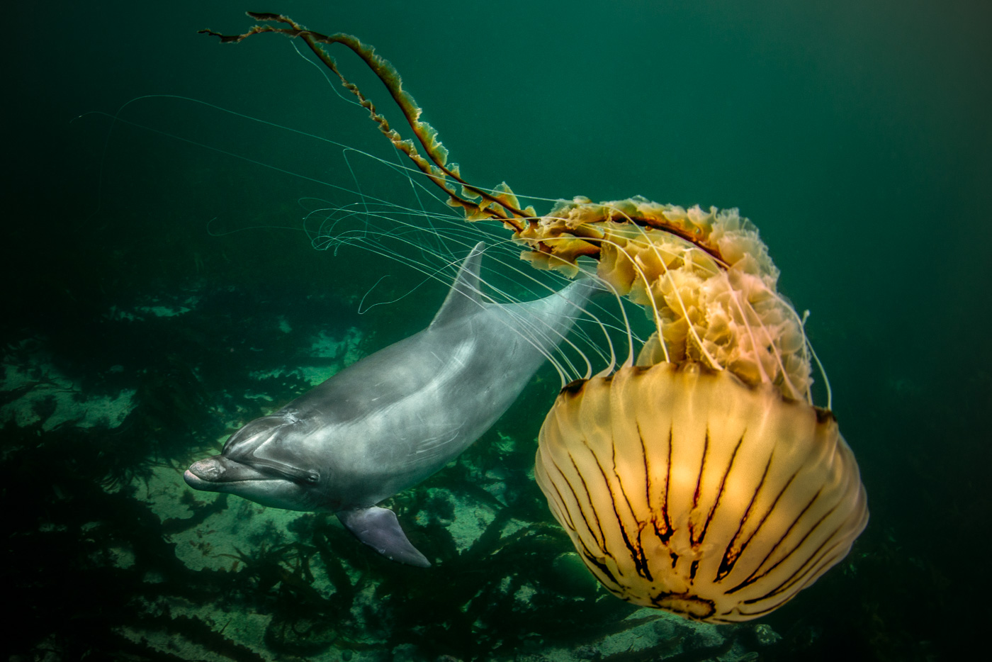 dolphin_with_compass_jellyfish