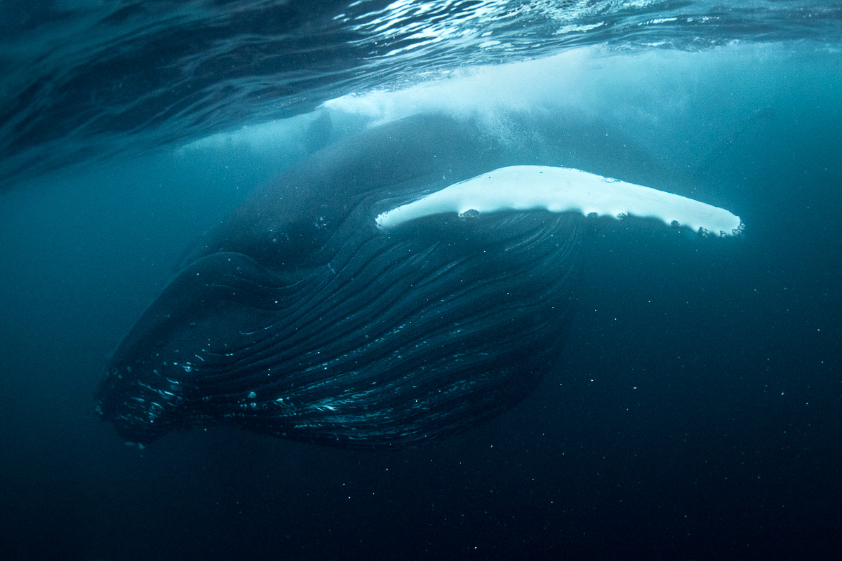 full_mouth_whale_underwater_norway