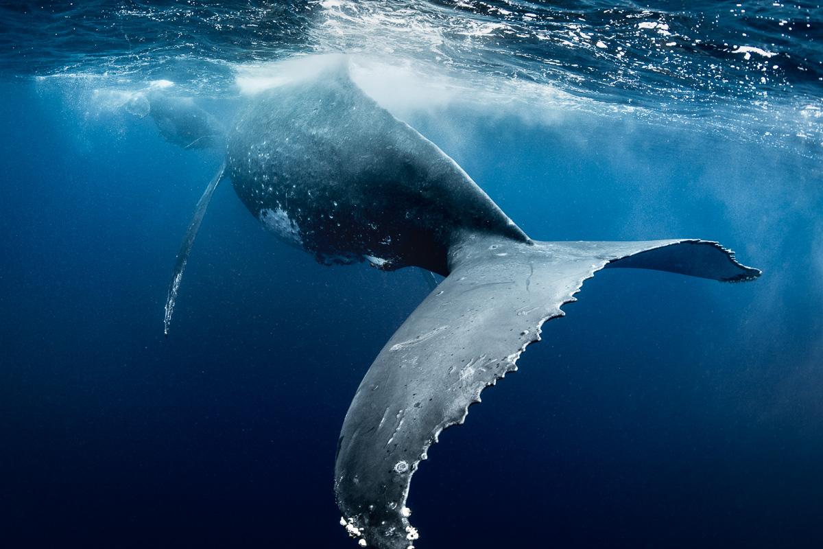 giant_whale_fluke_tail_underwater