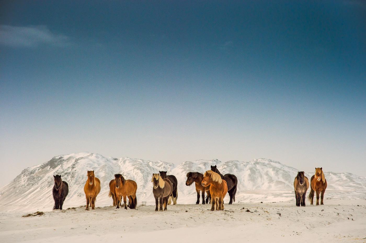 iceland_horses_snow