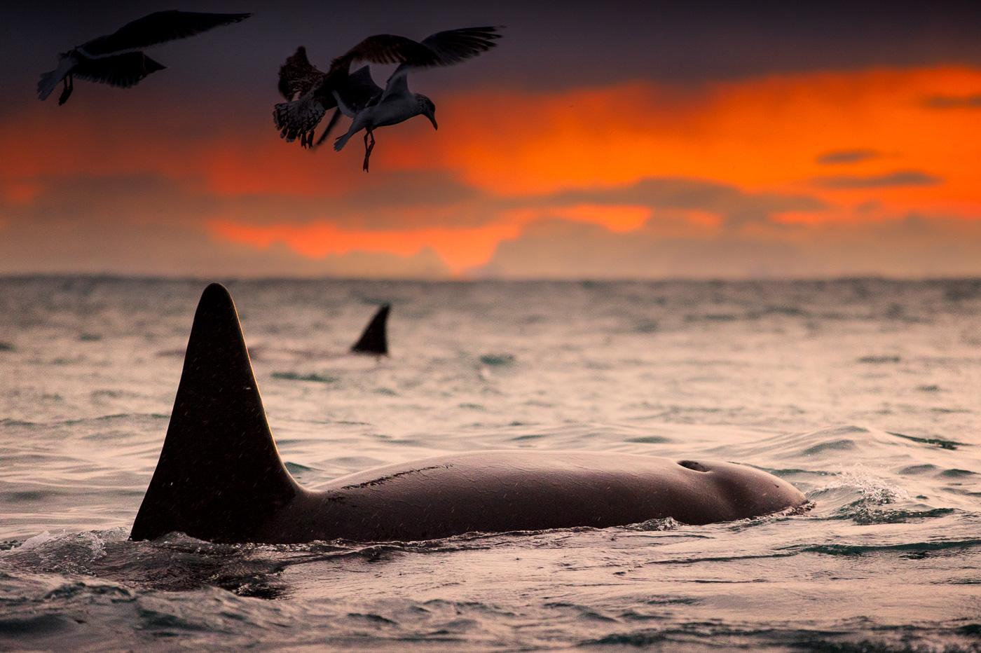 killer_whale_orca_female_andenes_norway