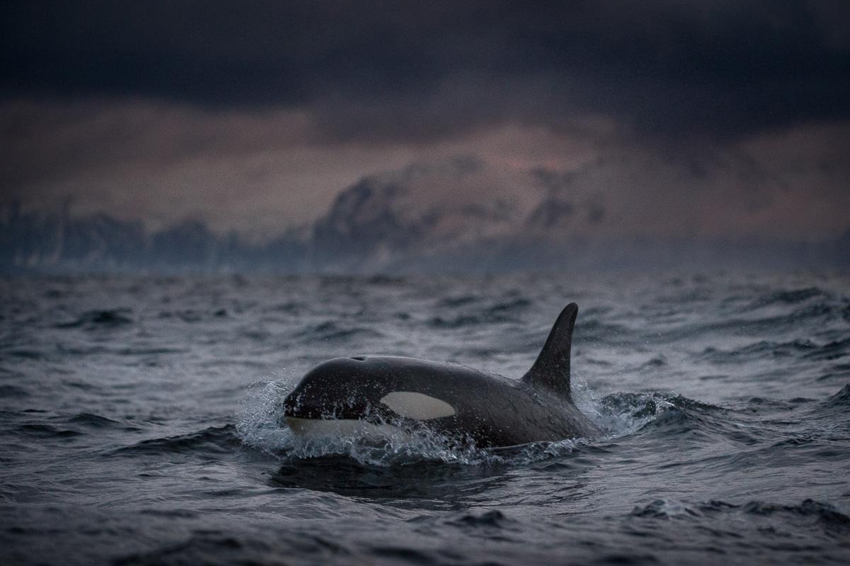 orca_fjord_senja_norway