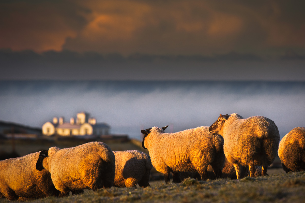 sheeps_by_the_sea_classic_ireland_photos1