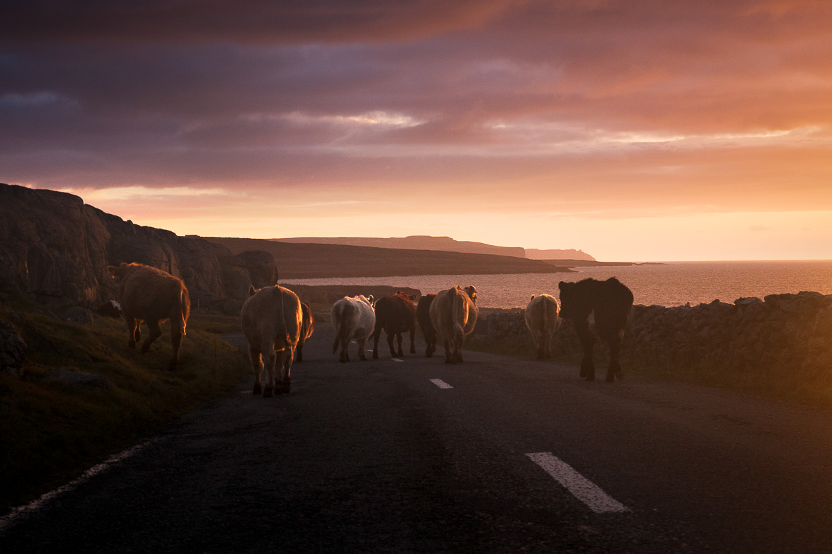 traffic_jam_ireland_cows_on_road_burren_amazing_sunset