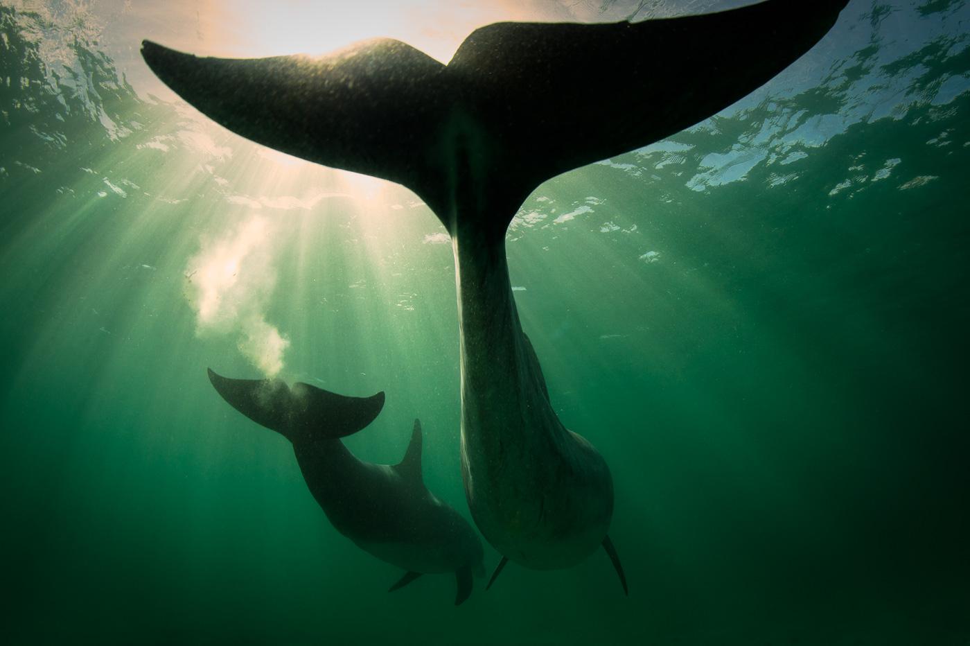 two_bottlenose_dolphins_silhouette_underwater_ireland