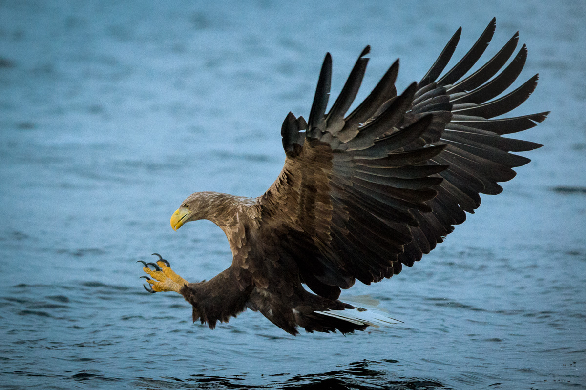 white_tail_eagle_hunt_arctic_norway